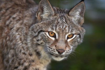Plan to bring back wild lynx to Scotland moves closer