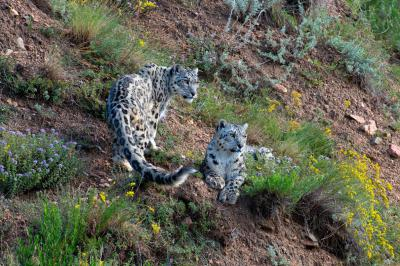 How a Hunting Reserve Became a Snow Leopard Sanctuary