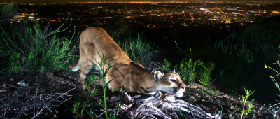 Mountain lions face inbreeding threat in Santa Monica Mountains