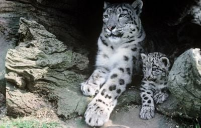 Snow leopards: Numbers decline due to 'retaliation'