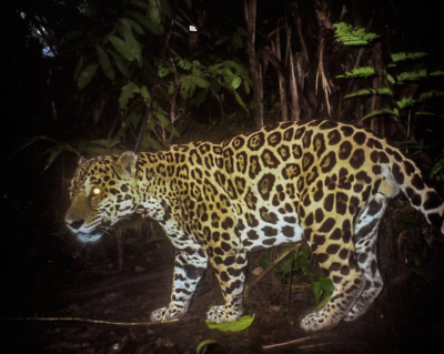 26 jaguars killed in Panama so far this year
